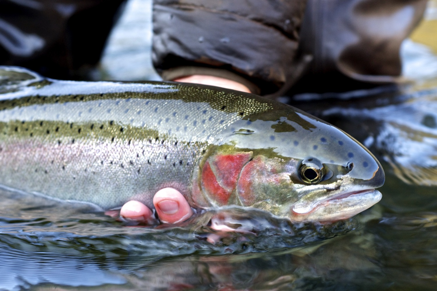 Steelhead trout being released in a lake