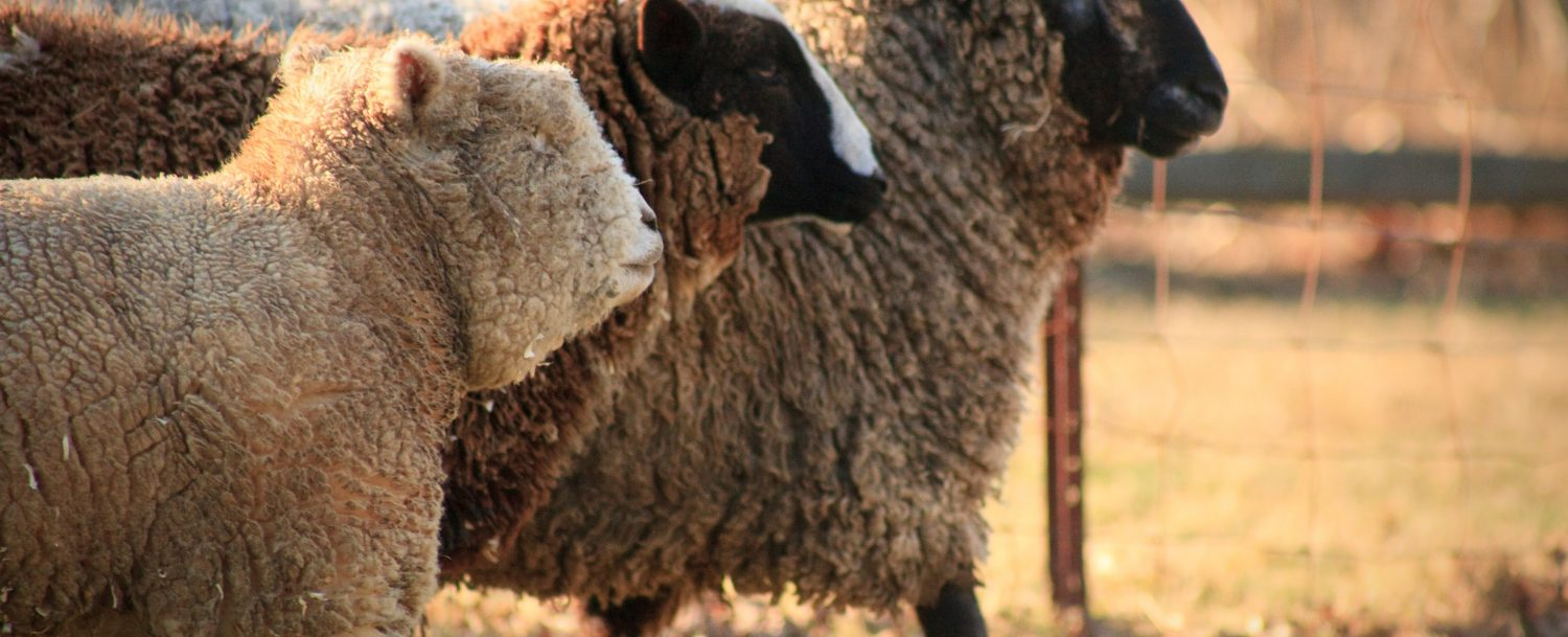 Witness the sheep parade at the Cedar Livestock and Heritage Festival!